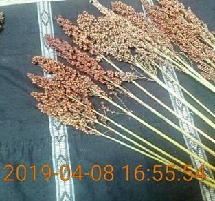 Benih Rumput Betari Alternatif Padi Huma Bukit