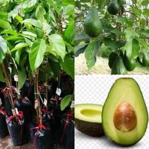 Anak pokok Avocado grafted