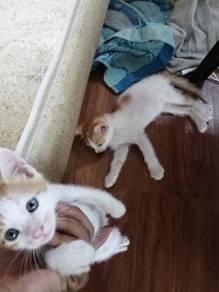 Dua ekor anak kucing