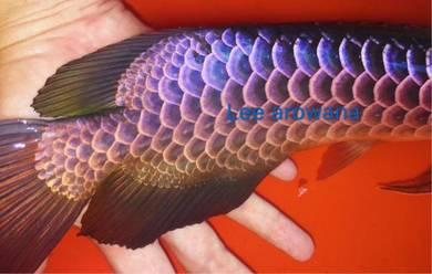 Lee arowana proshop Malaysia golden blue base