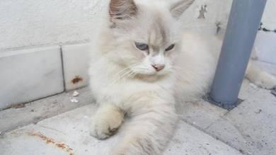 Semi Flat Persian Male