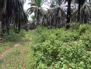 8 Acre Oil Palm & Fruit Trees for sale Kota Tinggi, Johor