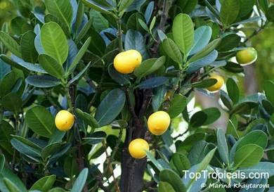 Small Garcinia tree