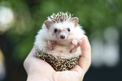 2 months old baby hedgehog