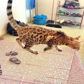 Kucing Bengal Rossete
