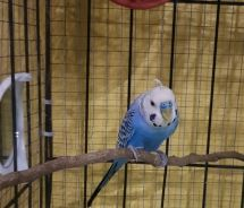 Burung baji/ budgie/ bird