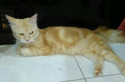 Kucing dlh marble jantan top model