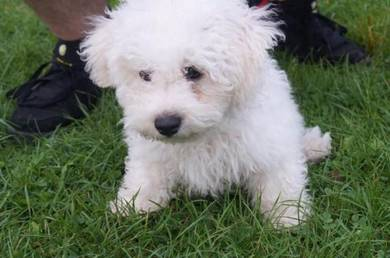 Bichon frise open for booking