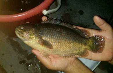 Ikan Puyu Betuk Besar