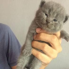 Kitten British Short Hair