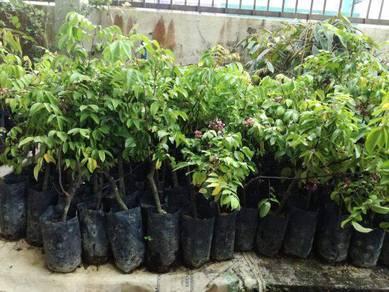Anak benih buah Buahan hybrid
