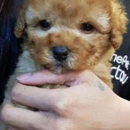 Toy poodle 18/6