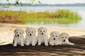 Bichon frise puppies >newborn