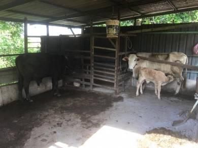 Lembu susu dan anak