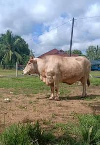Lembu charolis