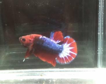 Hellboy line betta fish