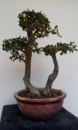 Bonsai kesinai