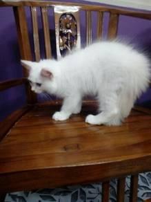 Kitten Birman