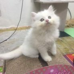 Anak kucing Kitten Parsi