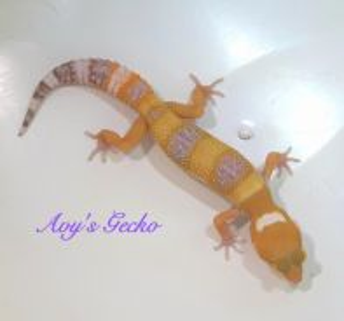 Hypo Tremper Leopard Gecko