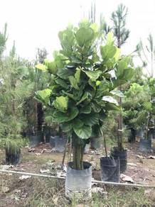 Ficus Lyrata (XXL Size)