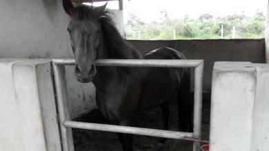 Kuda untuk dilepaskan. .padi A duo ekor kkb satu.