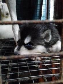 Alaskan Klee Kai/ Klee Kai Husky/ Mini Husky