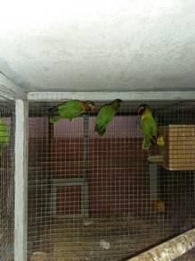 Lovebird wildgreen