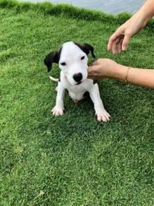 Pitbull terrier puppy