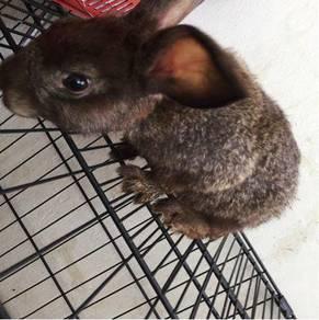 Rabbit Mix Flat-Faced / Britannica