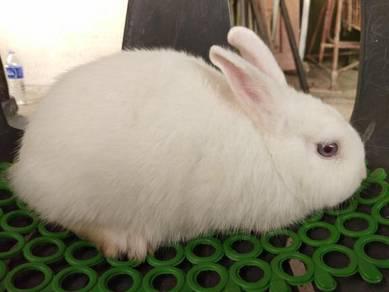Arnab rabbit netherland dwarf