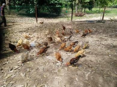 Ayam kampung free range
