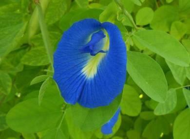 Bunga telang ( butterfly pea )