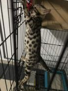 Male bengal rossete spotted cat kitten