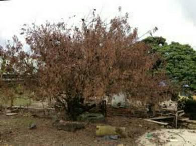 Racun pokok besar