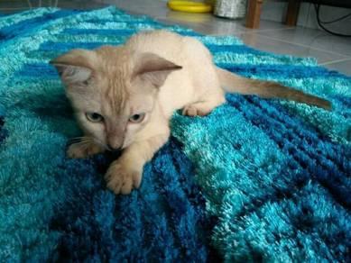 Anak Kucing bermata Biru (Percuma)