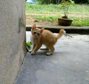 Kucing kampung free