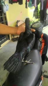Ayam Ratu (SG)