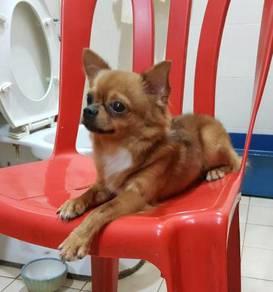 Longhair Applehead Chihuahua