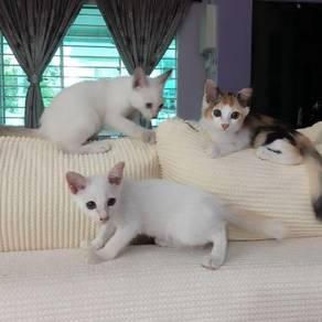Anak kucing untuk diberi percuma