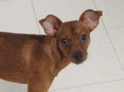 Dog (Pinscher)