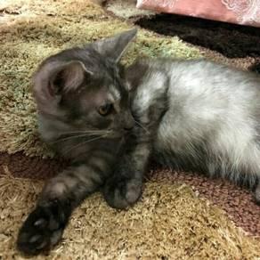 Mix persian cat.