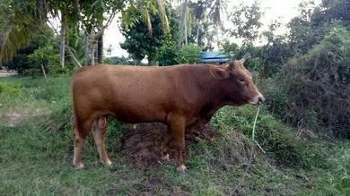Lembu 3 ekor untuk dijual