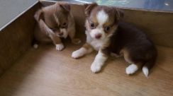 Chihuahua puppy for sales
