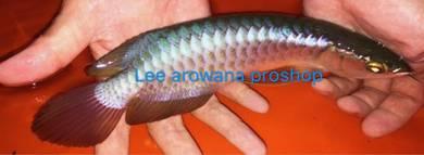 Lee Arowana proshop top Malaysia golden blue base
