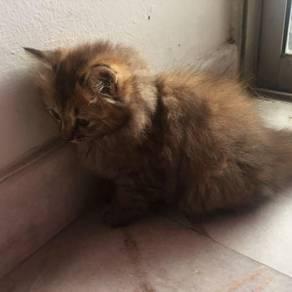 Kucing untuk dijual