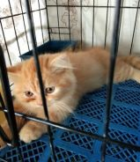 Kitten persian mix dlh
