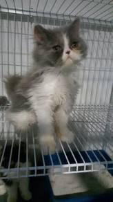 Persian kitten utk d jual