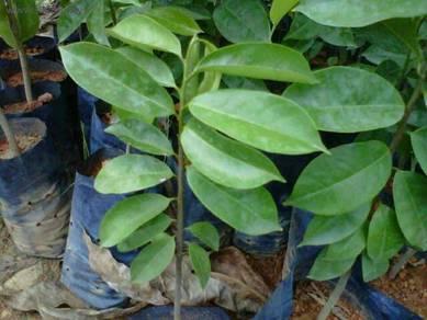 Pokok durian belanda emas