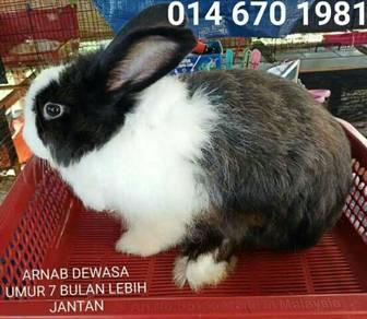 Arnab rabbit